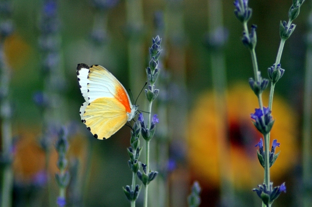 Vlinderorange