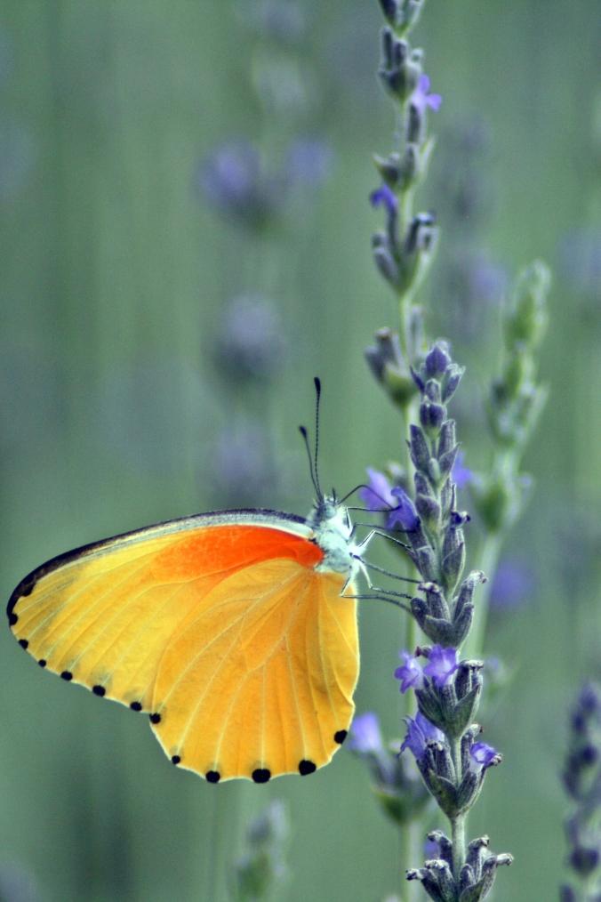vlinderorange1