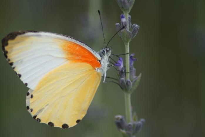 Vlinderorange4
