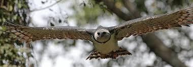 Harpy vlieg